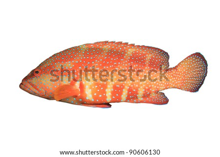 Coral Grouper (or Hind) (Cephalopholis miniata) isolated on white background