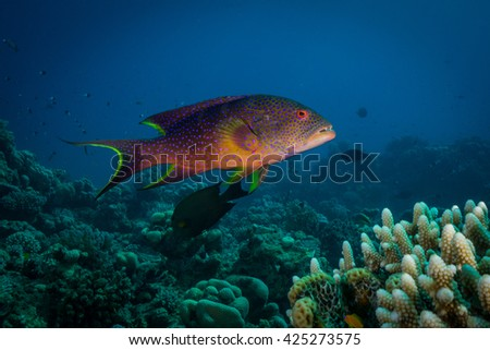 Coral grouper. Southern Red Sea.