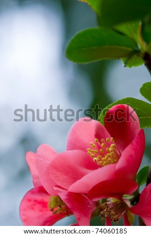 Coral Hawthorn bush flower with copy space - stock photo