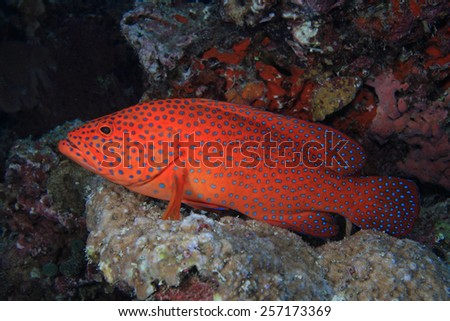 Coral hind grouper (Cephalopholis miniata) in the coral reef - stock photo