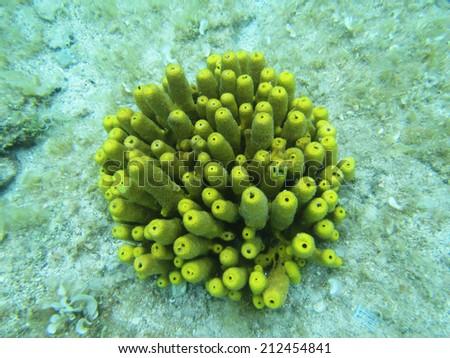 coral in adriatic sea croatia     - stock photo
