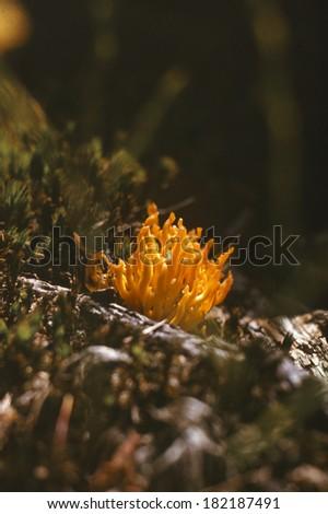 Coral mushroom (yellow) Ramaria Flava  - stock photo