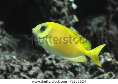Coral rabbitfish (siganus corallinus) in a dark background - stock photo