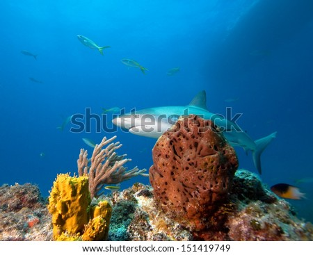 Coral reef and Caribbean reef shark   - stock photo