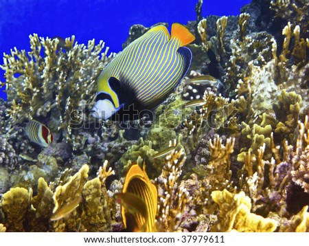 Coral reef and emperor angelfish - stock photo