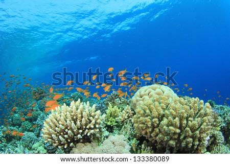 Coral Reef and Tropical Fish underwater in Red Sea - stock photo