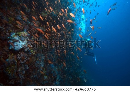 coral reef, Anthias reef fish schooling with diver