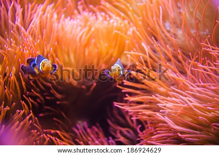 Coral Reef Clownfish Between Bubble Sea Anemone. Clownfish or Anemonefish. Coral Reef Life. - stock photo