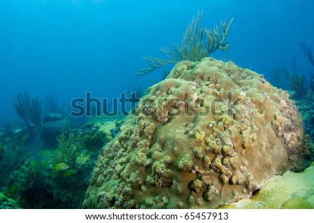 Coral Reef Composition with a Boulder Star Coral(Montastrea annularis) in the foreground.  Picture taken in shallow off the beach in Lauderdale By The Sea, Florida. - stock photo