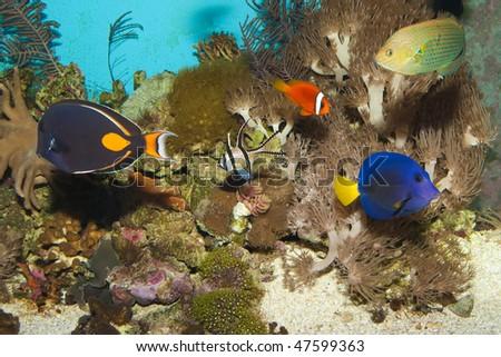 Coral Reef Fishes in Aquarium - stock photo