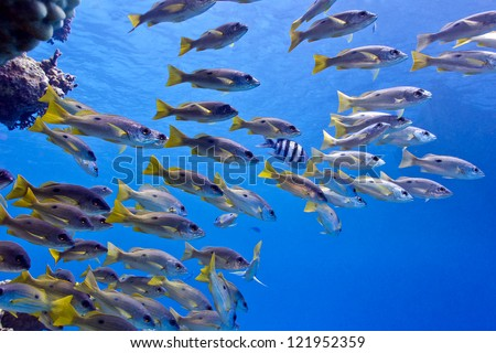 coral reef in red sea with shoal of goatfish - underwater photo - stock photo