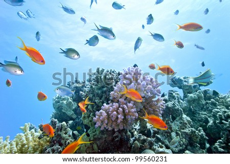Coral reef scene with anthias shoal fish - stock photo