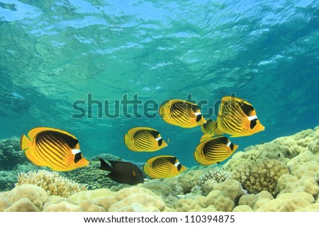 Coral Reef Scene with Red Sea Raccoon Butterflyfishes