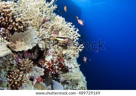 Coral Reef Scene with Tropical Fish, Red sea, Egypt.