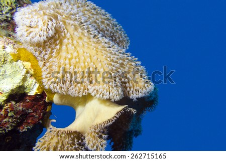 coral reef with beautiful great soft coral at the bottom of tropical sea on a background of blue water, underwater - stock photo