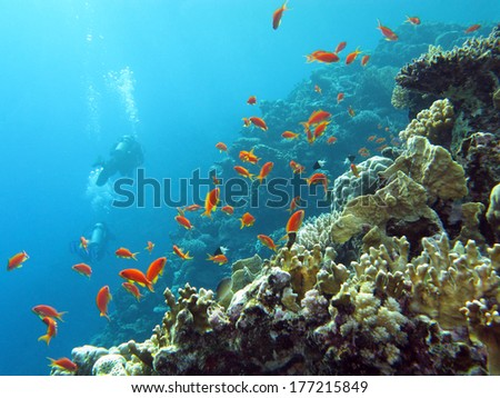 coral reef with  divers and exotic fishes anthias at the bottom of tropical sea on blue water background
