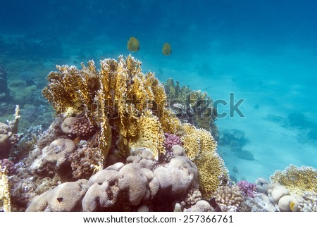 coral reef with exotic fishes butterflyfishes on the bottom of tropical sea - stock photo