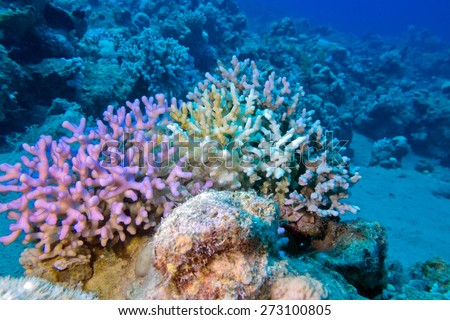 coral reef with finger coral at the bottom of tropical sea at great depth - stock photo
