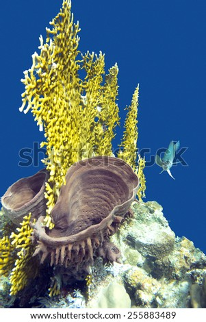 coral reef with fire coral and sea sponge on the bottom of tropical sea - stock photo