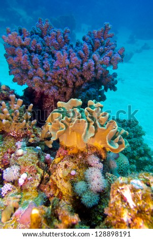 coral reef with great hard and soft corals at the bottom of tropical sea - stock photo