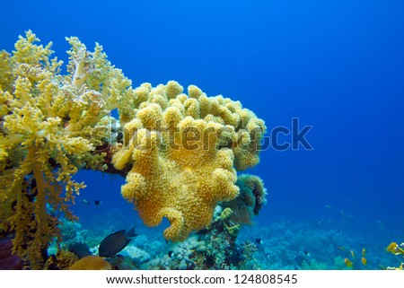 coral reef with great soft coral on the bottom of red sea - stock photo