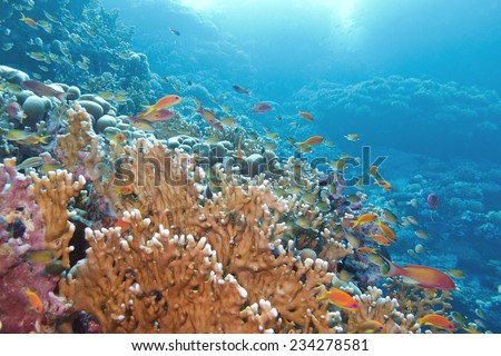 coral reef with great yellow fire coral and fishes at the bottom of tropical sea - stock photo