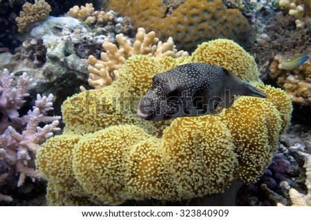 Coral reef with great yellow soft coral at the bottom of red sea. - stock photo