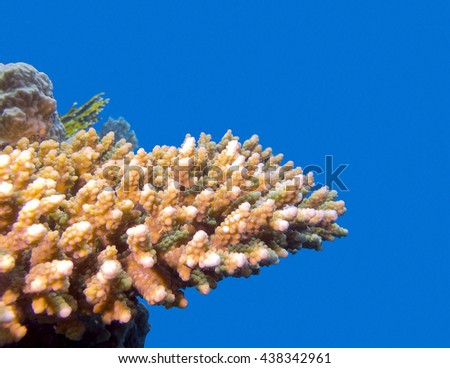 coral reef with hard acropora coral at the bottom of tropical sea on blue water background, underwater - stock photo