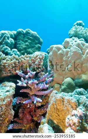 coral reef with hard coral violet acropora at the bottom of tropical sea - stock photo