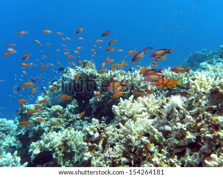 coral reef with hard corals and exotic fishes anthias at the bottom of tropical sea - stock photo