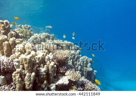 Coral reef with porites corals at the bottom of tropical sea, underwater - stock photo