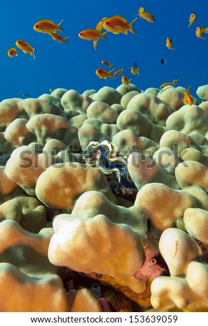 coral reef with porites corals , blue clam and exotic fishes anthias  at the bottom of tropical sea - stock photo