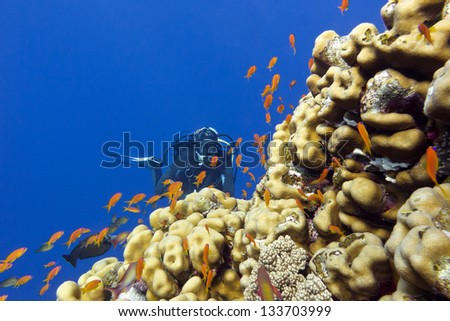 coral reef with porites corals, exotic fishes anthias and girl diver at the bottom of tropical sea - stock photo