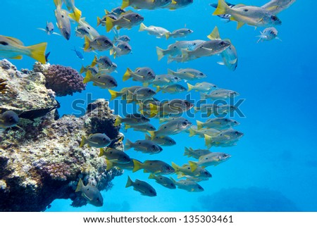 coral reef with shoal of goatfishes at the bottom of red sea - stock photo