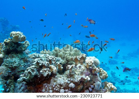 coral reef with soft and hard corals and  exotic fishes anthias on the bottom of tropical sea  on blue water background - stock photo
