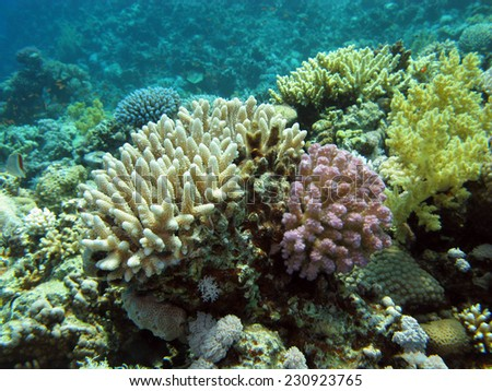 coral reef with soft and hard corals on the bottom of tropical sea  on blue water background - stock photo