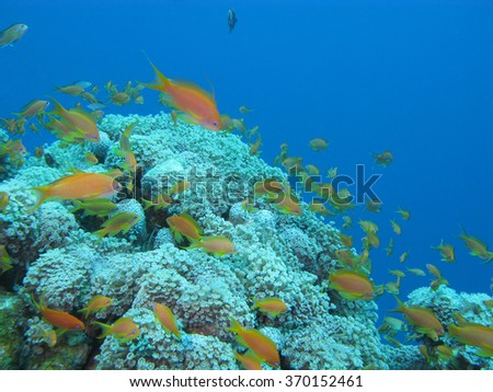 coral reef with soft coral Sessile Xenia and exotic fishes Anthias in tropical sea, underwater - stock photo