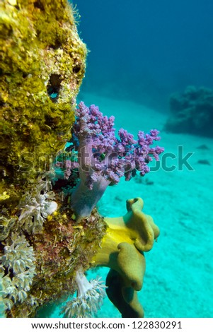 coral reef with soft corals on the bottom of red sea - stock photo