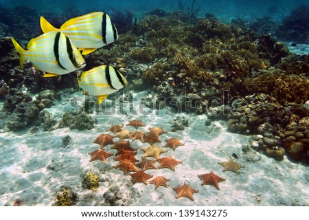 Coral reef with tropical fish and a group of Cushion starfish on the ocean floor, Atlantic, Bahamas islands - stock photo