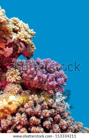 coral reef with violet hard corals poccillopora at the bottom of tropical sea on blue water background