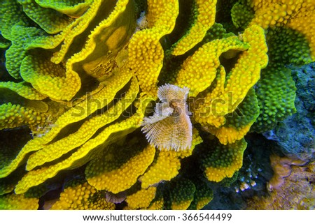 coral reef with yellow turbinaria mesenterina and fan worm at the bottom of tropical sea - stock photo