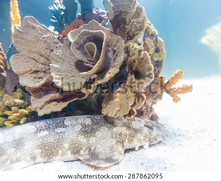 Coral reefs in Ripley's Aquarium are underwater structures made from calcium carbonate secreted by corals. Coral reefs are colonies of tiny animals found in marine waters that contain few nutrients. - stock photo