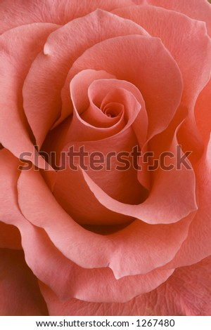 coral rose - stock photo