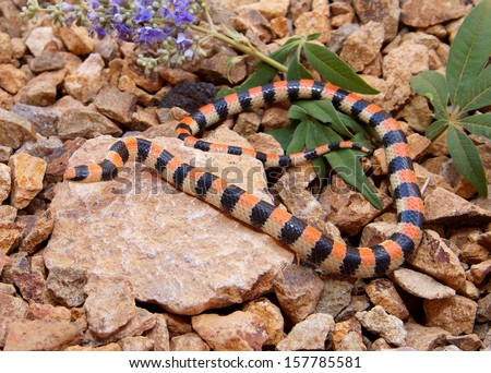 Coral Snake mimic- the desert dwelling Ground Snake, Sonora semiannulata of the Mojave Desert - stock photo