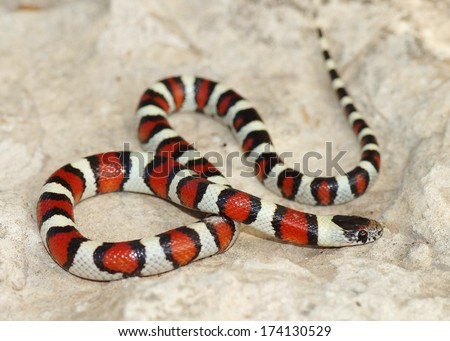 Coral Snake - red, black and white colors of a mimic snake, Lampropeltis triangulum gentilis  - stock photo