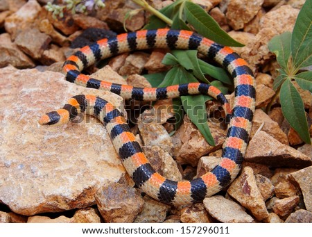 Coral Snake warning coloration - Sonora semiannulata coiled defensively in the desert - stock photo