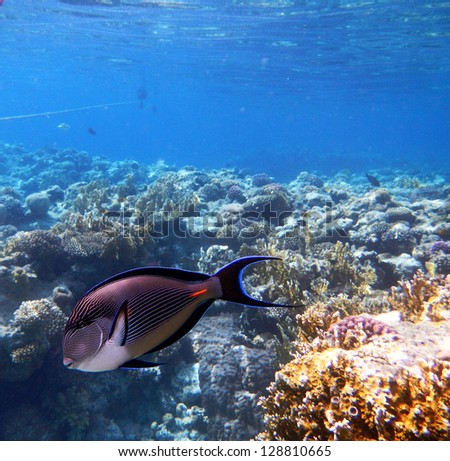 Corals and Sponge with Tropical Sohal Surgeonfish on Colorful coral reef in the Red Sea , Egypt