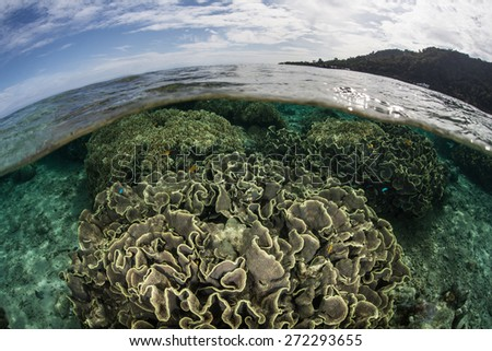 Corals grow in the shallows of Ambon, Indonesia. This remote region is within the Coral Triangle and harbors extremely high marine biodiversity and world class diving and snorkeling. - stock photo