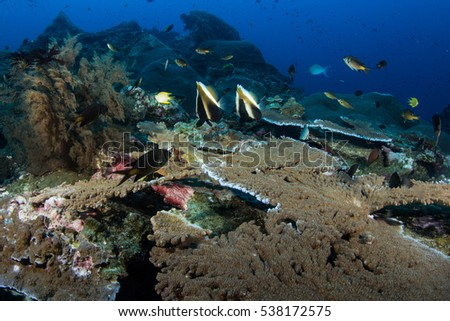Corals in Andaman Sea Thailand