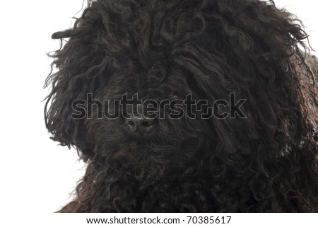 corded puli head portrait on white background - stock photo
